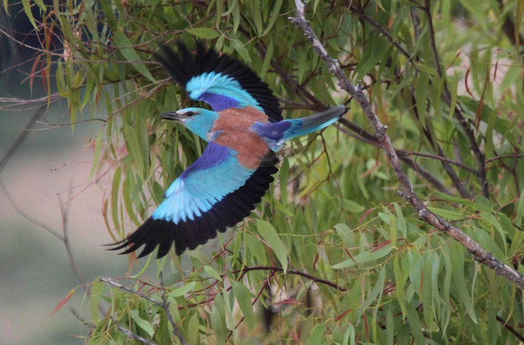 L'uccello azzurro