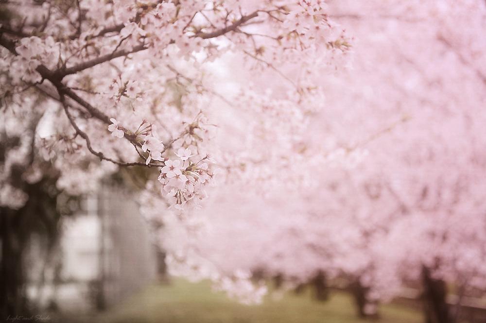 Un ciliegio ha paura di fiorire?