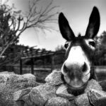 Guardare nella stessa direzione ovvero la storia del mulo