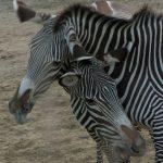 Sei zebra, gazzella o maschio dominante?