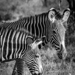 Vorrei avere una mente zebra