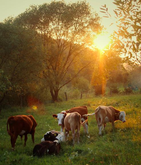 La storia delle mucche: la storia di inizio d'anno