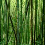 Inciampare nel bambuseto