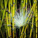 La fioritura dei bambù
